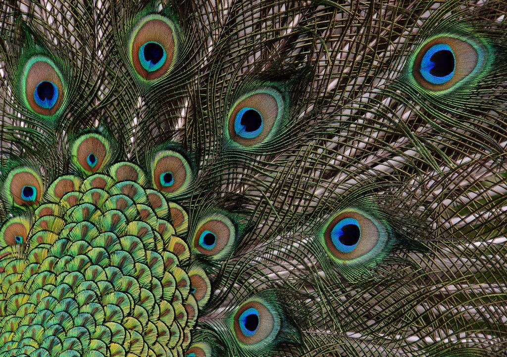 Détail plumage paon - ocelles