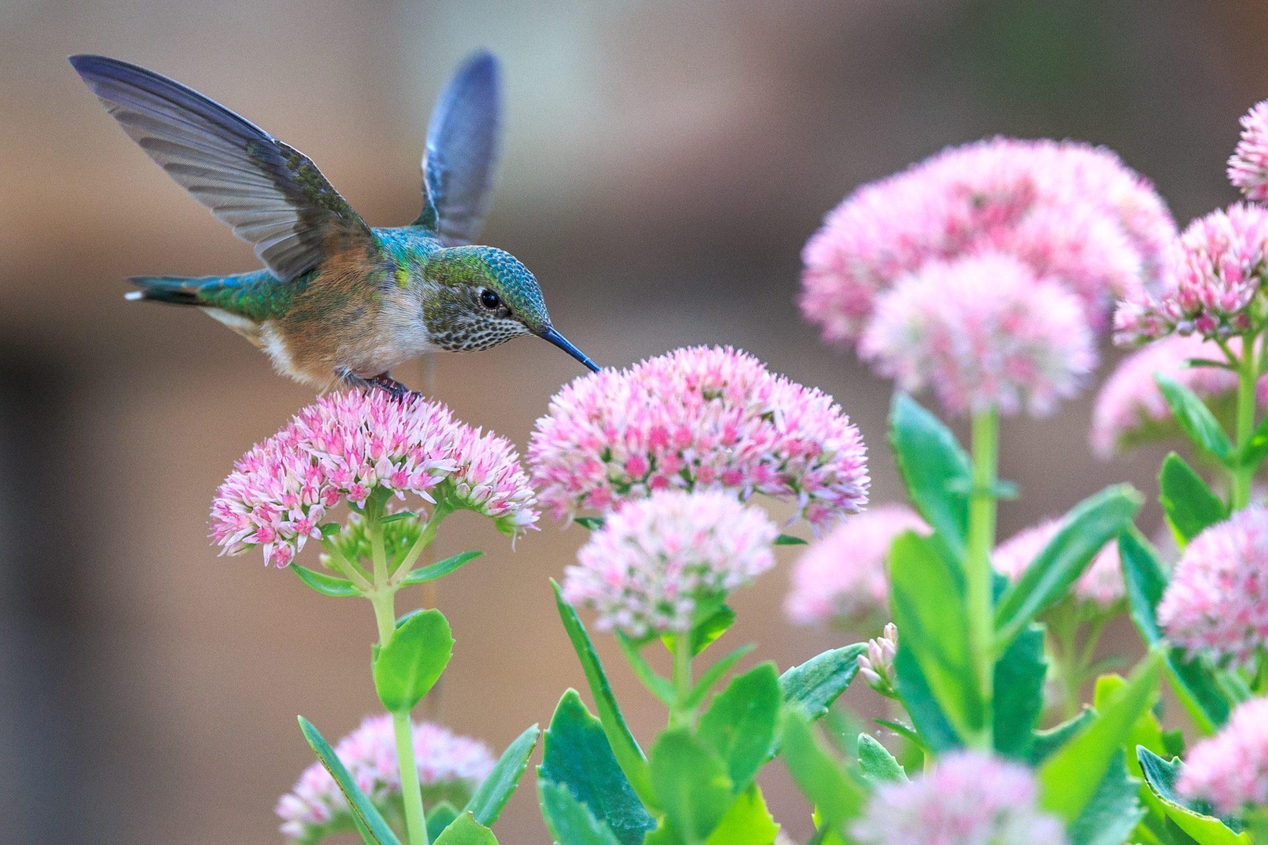 colibri nectar fleur andrea-reiman